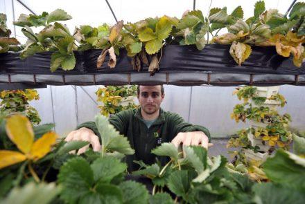 Dignuo ušteđevinu, kupio sadnice i posadio jagode na – tri kata. Upoznajte Matiju Brinjaka